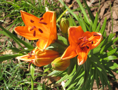 Orange Lily Pictures - flowerbed redesign.