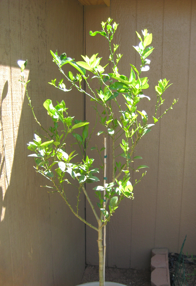 Mexican Lime Tree Pics